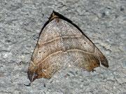 Laspeyria flexula (Sicheleule) / NOCTUIDAE (Eulen)