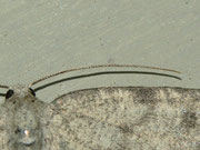 Charissa glaucinaria (Grüngraugebänderter Felsensteinspanner) Weibchen)