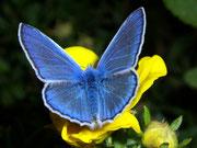 Polyommatus icarus (Hauhechel Bläuling, Männchen) / LYCAENIDAE/Polyommatini (Bläulinge)