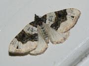 Cosmorhoe ocellata (Schwarzaugen-Bindenspanner) / GEOMETRIDAE/Larentiinae (Spanner)