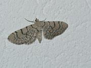 Eupithecia venosata (Geschmückter Taubenkropf-Blütenspanner) / GEOMETRIDAE/Larentiinae (Spanner)