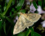 Paratalanta pandalis / CRAMBIDAE/Pyraustinae (Zünsler)