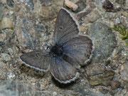 Plebeius glandon (Dunkler Alpenbläuling, Weibchen) / LYCAENIDAE/Polyommatini (Bläulinge)