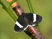 Baptria tibiale (Trauerspanner oder Christophskrautspanner) / GEOMETRIDAE