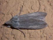 Cucullia umbratica (Schattenmönch) / NOCTUIDAE (Eulen)