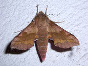 Deilephila porcellus (Kleiner Weinschwärmer) / SPHINGIDAE (Schwärmer)