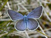 Polyommatus semiargus (Männchen) (Violetter Waldbläuling)