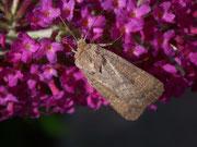 Hoplodrina blanda (Graubraune Staubeule) / NOCTUIDAE (Eulen)