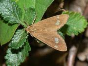 Dysauxes ancilla (Grosses Braunwidderchen) / ARCTIIDAE/Syntominae (Bärenspinner)