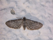 Eupithecia satyrata