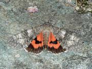 Noctuidae (Eulenfalter)