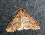 Erannis defoliaria (Grosser Frostspnner) / GEOMETRIDAE/Ennominae (Spanner)