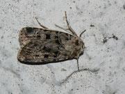 Chersotis multangula (Braune Labkrauteule) / NOCTUIDAE (Eulen)
