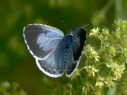 Celastrina argiolus Faulbaum-Bläuling) / LYCAENIDAE/Polyommatini (Bläulinge)