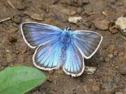 Polyommatus damon (Grünblauer Bläuling, Männchen) / LYCAENIDAE/Polyommatini (Bläulinge)