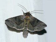 Abrostola asclepiadis (Schwalbenwurz-Höckereule) / NOCTUIDAE/Plusiinae (Eulen)