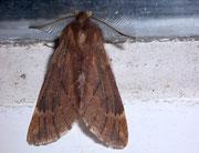 Ptilophora plumigera (Frost-Zahnspinner, Weibchen) / NOTODONTIDAE (Zahnspinner)