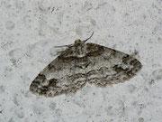 Paradarisia consonaria (Glattbindiger Rindenspanner) / GEOMETRIDAE/Ennominae (Spanner)