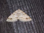 Perizoma didymata (Bergwald-Kräuterspanner) / GEOMETRIDAE/Larentiinae (Spanner)