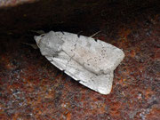 Xestia ashworthii  (Aschgraue Bodeneule) / NOCTUIDAE/Noctuinae (Eulen)