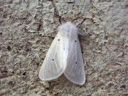 Diaphora mendica (Graubär, Weibchen) / ARCTIIDAE/Arctiinae (Bärenspinner)