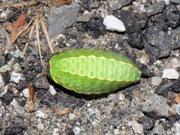 Apoda limacodes (Grosser Schneckenspinner)