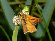 Hesperiidae (Dickkopffalter)