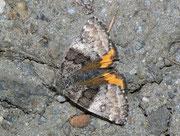 Boudinotiana notha (Auen-Jungfernkind, Weibchen) / GEOMETRIDAE/Archiearinae (Spanner)