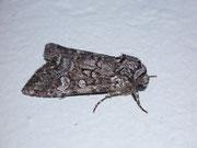 Papestra biren (Moorwald-Blättereule) / NOCTUIDAE (Eulen)