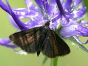 Pyrausta coracinalis