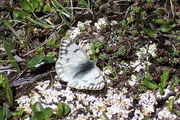 Pontia callidice (Alpenweissling) / PIERIDAE/Pierinae (Weisslinge)