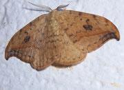 Drepana falcataria (Heller Sichelflügler, Männchen) / DREPANIDAE (Sichelflügler)