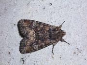 Apamea illyria (Zweifarbige Grasbüscheleule) / NOCTUIDAE (Eulen)