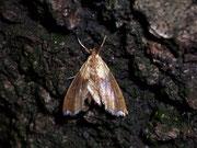 Agrotera nemoralis / CRAMBIDAE/Spilomelinae (Zünsler)