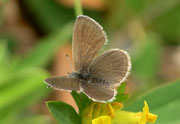Cupido minimus (Zwergbläuling, Weibchen)  / LYCAENIDAE/Polyommatini (Bläulinge)