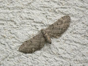 Eupithecia egenaria