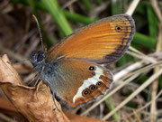 Coenonympha arcania (Weissbindiges Wiesenvögelchen) / NYMPHALIDAE/Coenonymphini (Edelfalter)