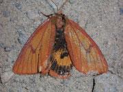 Diacrisia sannio (Rotrandbär, Weibchen) / ARCTIDAE/Arctiinae (Bärenspinner)