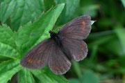 Erebia pharte (Unpunktierter Mohrenfalter) / NYMPHALIDAE/Tr. Erebiini (Edelfalter)