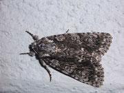 Acronicta rumicis (Ampfer-Rindeneule) / NOCTUIDAE (Eulen)