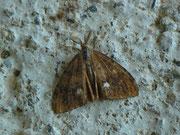 Orgyia antiqua (Schlehen-Bürstenspinner) / LYMANTRIIDAE