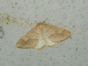 Agriopis marginaria (Graugelber Breitflügelspanner) / GEOMETRIDAE/Ennominae (Spanner)