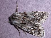Brachionycha nubeculosa (Frühlings-Rauhaareule) / NOCTUIDAE (Eulen)