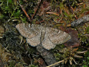Hydria (Rheumpatera) undulata (Wellenspanner) / GEOMETRIDAE/Rheumpaterini (Spanner)