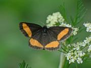 Psodos quadrifaria (Gelbgebänderter Flachstirnspanner) / GEOMETRIDAE/Ennominae (Spanner)
