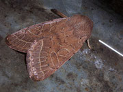 Orthosia cerasi (Rundflügel-Kätzcheneule) / NOCTUIDAE (Eulen)
