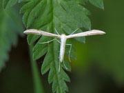 Hellinsia carphodactyla