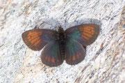 Erebia tyndarus (Schillernder Mohrenfalter, Männchen) / NYMPHALIDAE/Tr. Erebiini (Edelfalter)