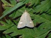 Udea alpinalis / CRAMBIDAE/Spilomelinae (Zünsler)