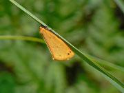 Setina irrorella (Steinflechtenbär) / ARCTIIDAE/Lithosiinae (Bärenspinner)